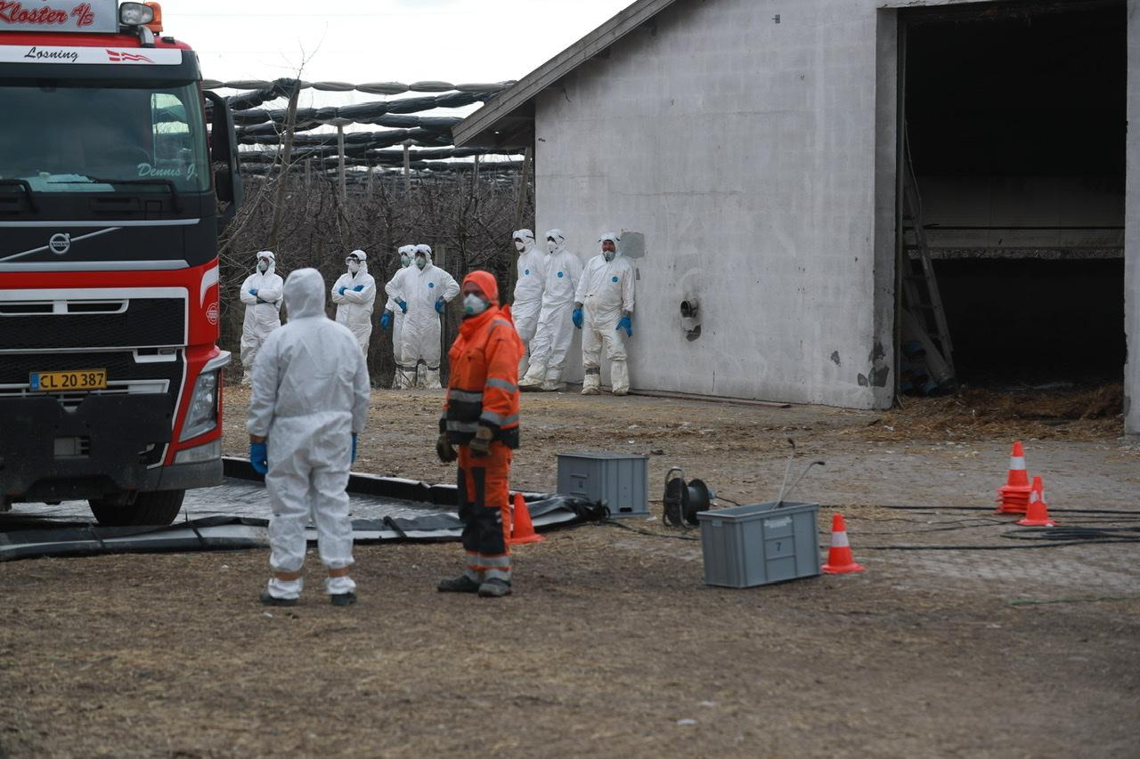 4000 kalkuner slået ihjel efter fund af fugleinfluenza