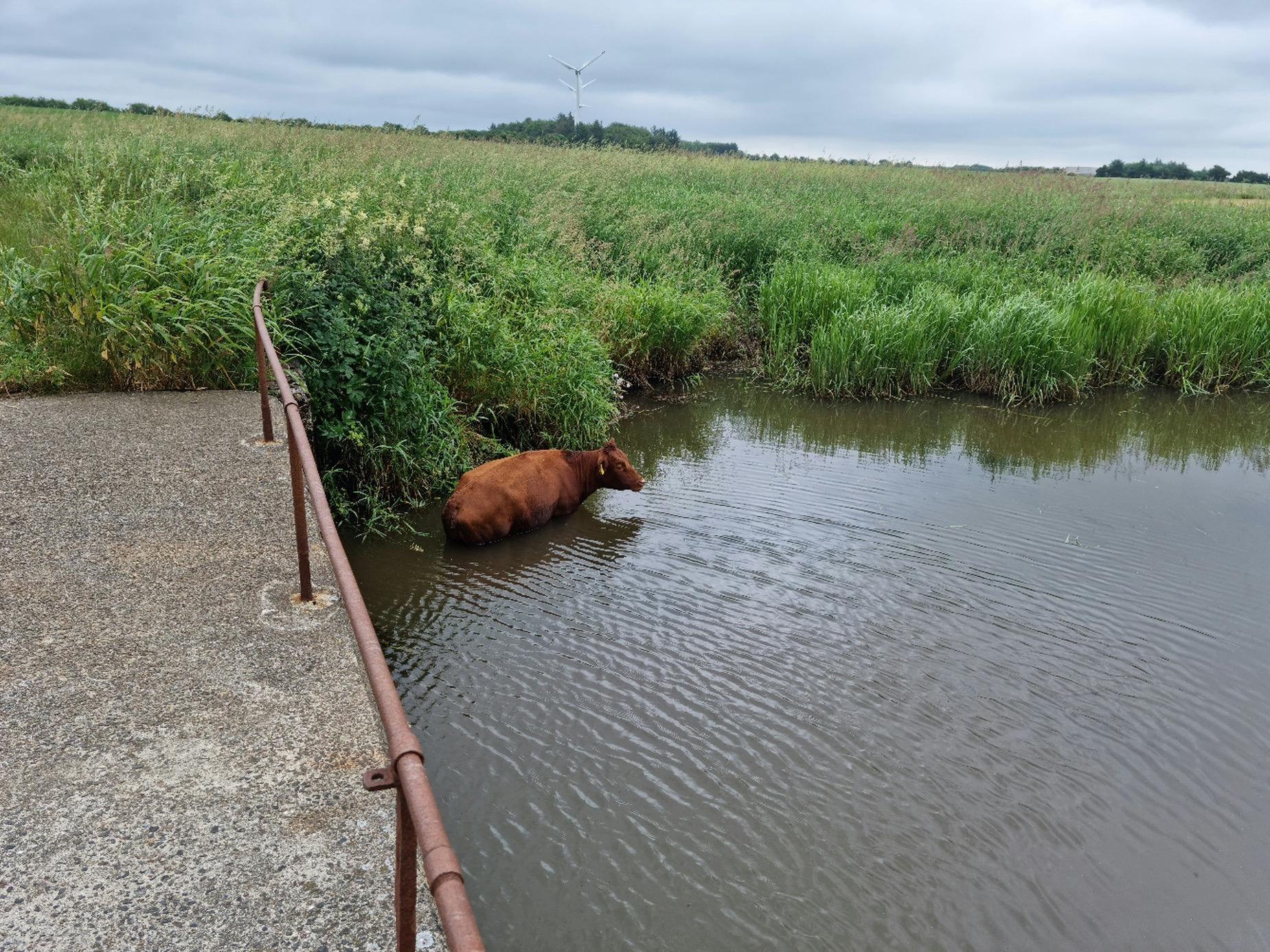 Ko fundet svømmende rundt i å