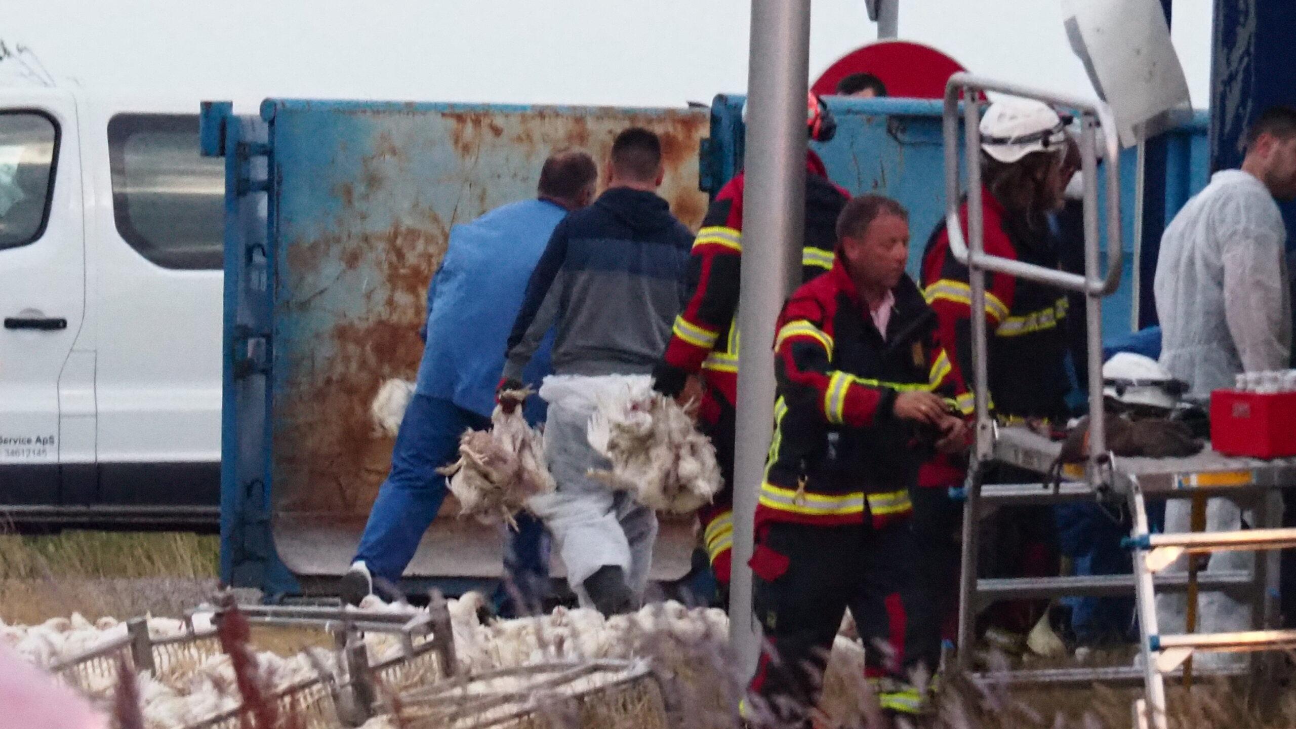 Voldsom lastbilulykke - tusindvis af døde kyllinger fra væltet lastbil