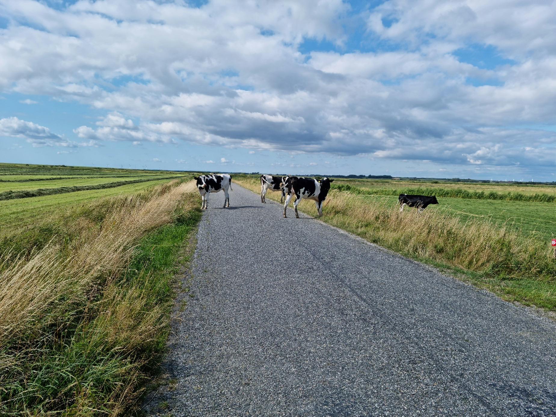 Køer løs på vej - pas på